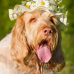 Orange and White Italian Spinone wearing a hat with flowers