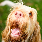 Orange and White Italian Spinone Dog Head Shot