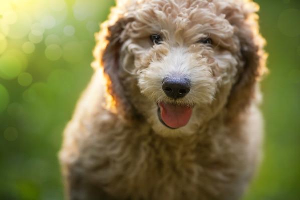 Happy puppy poodle