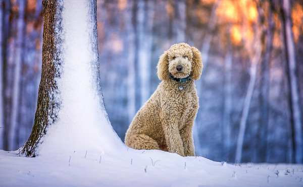 Poodle in snow and sunrise