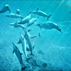 Dolphins at Play #321