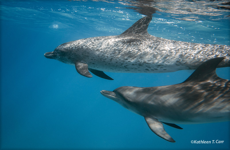 Two Atlantic Spotted Dolphins