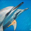 Dolphin Pair and Leaf