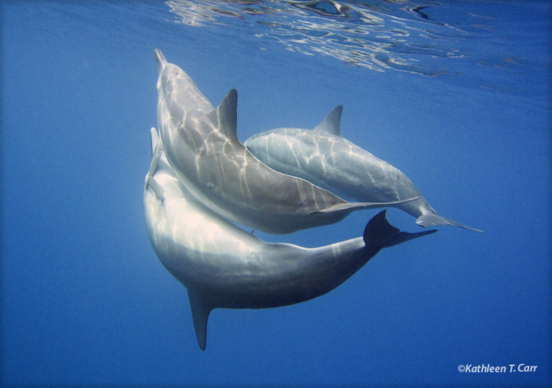 Dolphins Mating