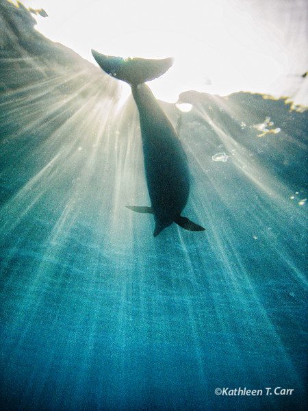 Dolphin at Surface