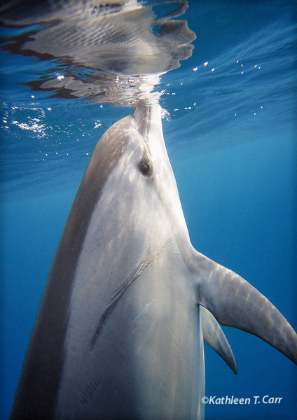 Dolphin Vertical Gaze