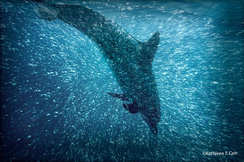 Dolphin Amakua