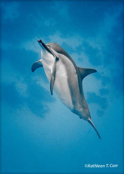 Curious Dolphin