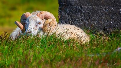 Icelandic Ram