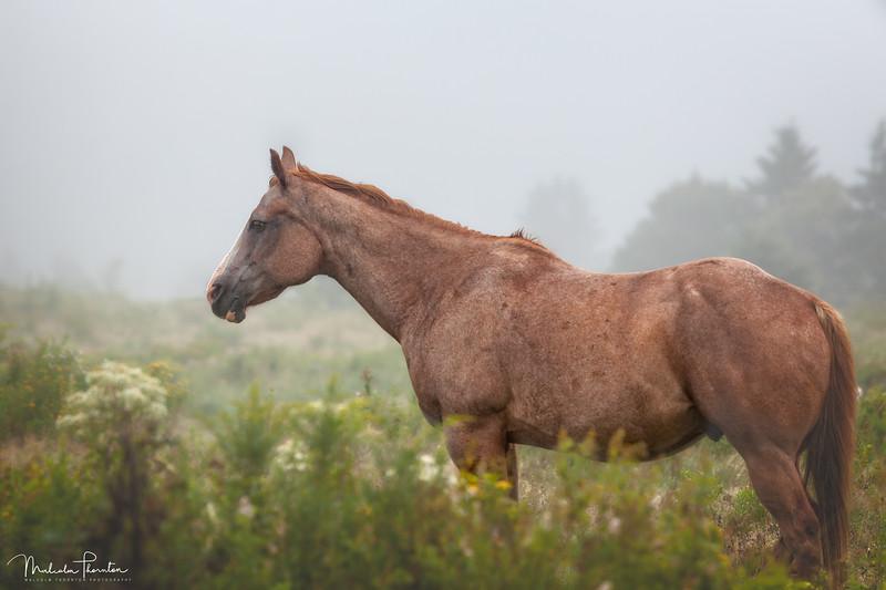 Quarter Horse in the Mist
