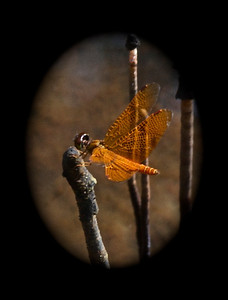 Amberwing Dragonfly, The Amazon, Ecuador, South America