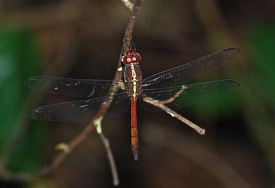 Metallica Dragonfly, Guyana, South America