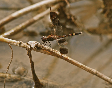 Banded Dragonfly, Guyana, South America