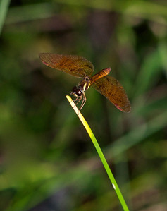 Tiger Dragonfly, The Amazon, Ecuador, South America