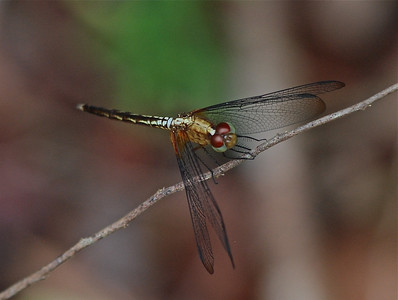 Dragonfly, Guyana, South America