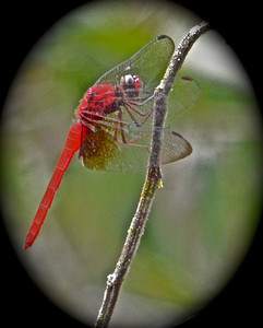 Dragonfly, The Amazon, Ecuador, South America