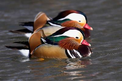 121815 Mandarin Duck