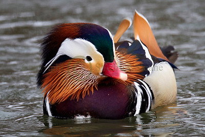 122372 Mandarin Duck