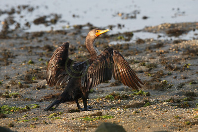 087368 Cormorant