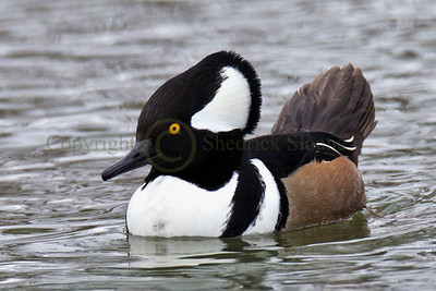 122671 Hooded Merganser