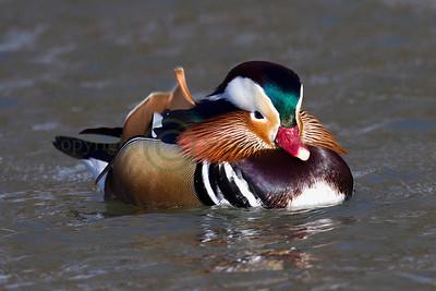 121802 Mandarin Duck