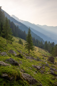 A lone larch sits on a slope in northern Italy.