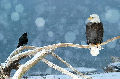 Eagle & Crow