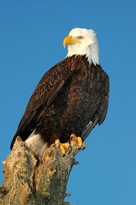 Proud Symbol of the USA