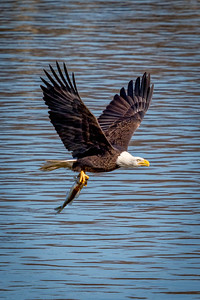 Adult Bald Eagle fishing on the Susquehanna River Maryland