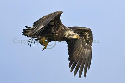 084111 Bald Eagle