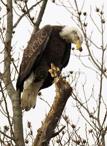 121316 Bald Eagle