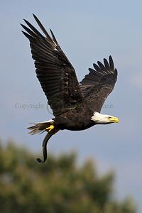 093597 Bald Eagle