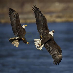 128332 Bald Eagles