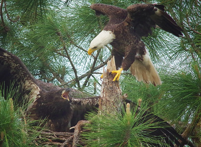 defending the nest (..and fish)