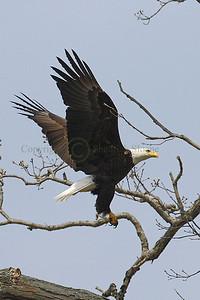 100638 Bald Eagle