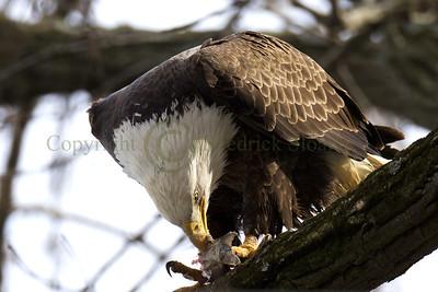 121431 Bald Eagle