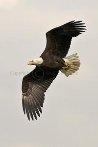 070571 Bald Eagle