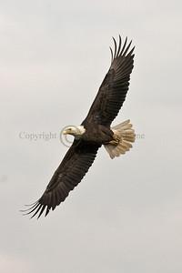 070570 Bald Eagle