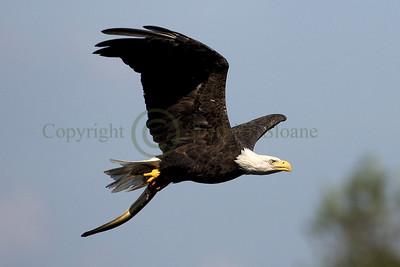 093955 Bald Eagle