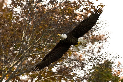 082946 Bald Eagle