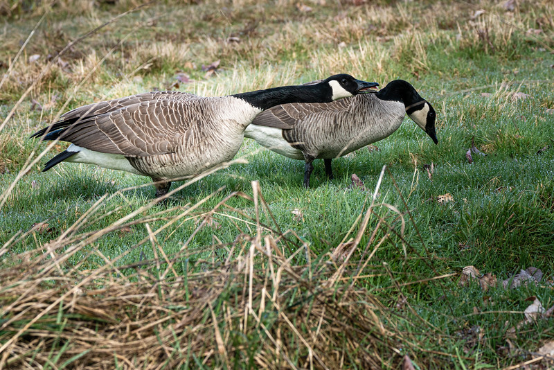 Tongue lashing from a goose?!