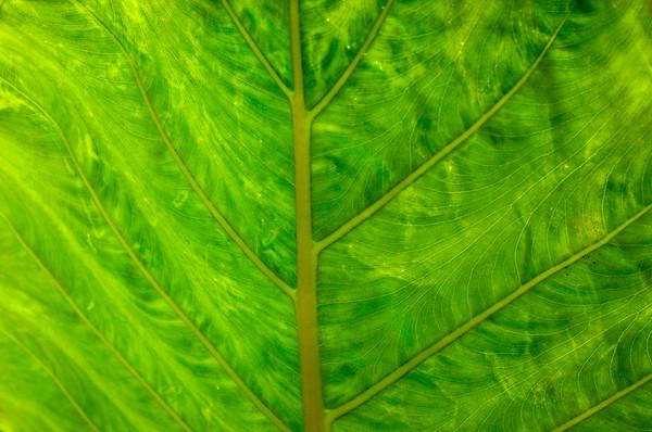 Leaf. Jamaica 2009