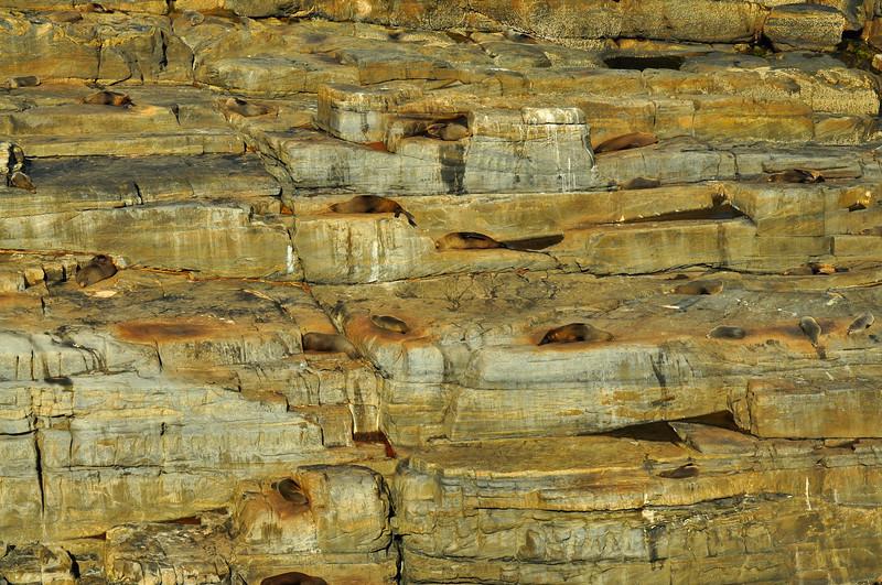 Napping Seals,. Flinders Chase National Park, Kangaroo Island, Australia 2010