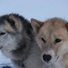 Greenlandic sled dogs III - East Greenland 2016