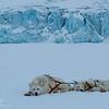 Greenlandic sled dogs II - East Greenland 2016