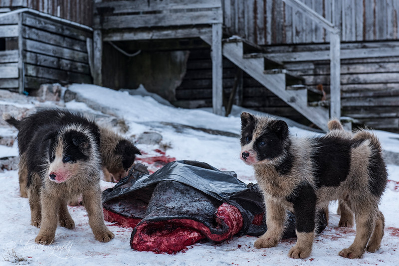 Greenlandic sled dog puppies feeding on seal - Sermiligaaq, East Greenland 2016