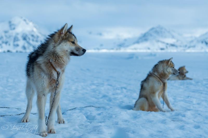 Greenlandic sled dogs I - East Greenland 2016