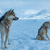 Greenlandic sled dogs I - East Greenland 2016