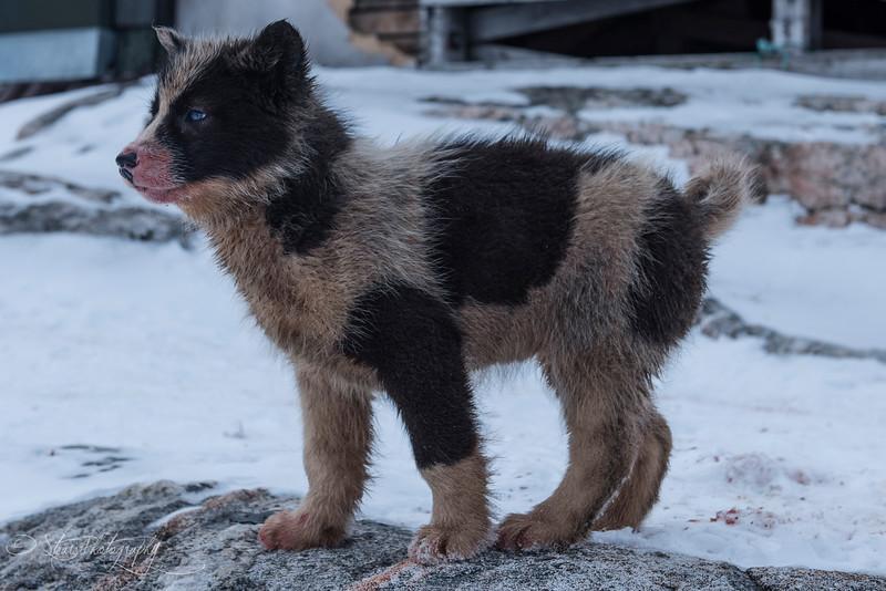 Greenlandic sled dog puppy - Sermiligaaq, East Greenland 2016