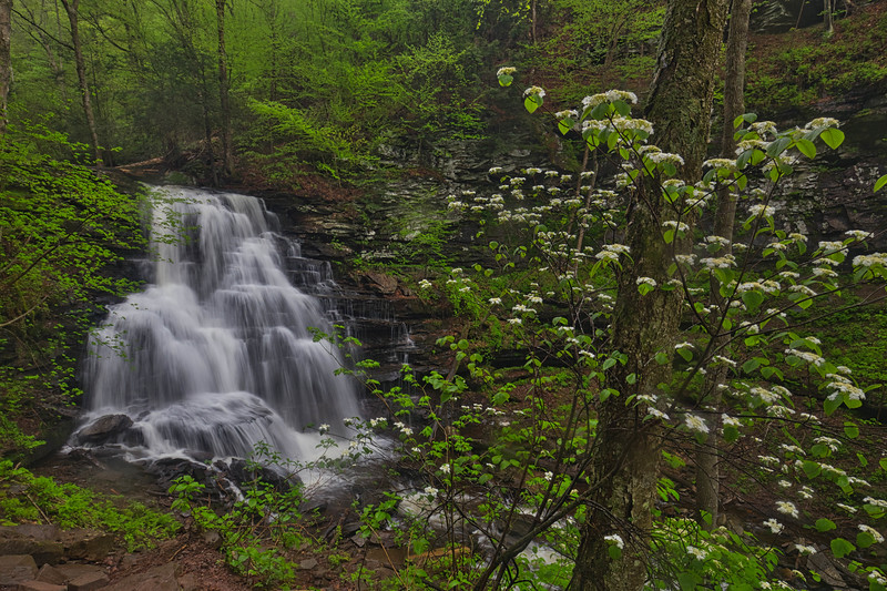Hobblebush blooming at Tuscarora Falls in Ricketts Glen State Park